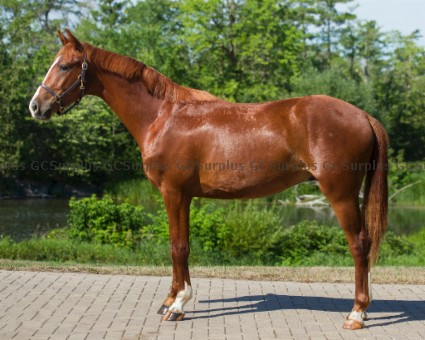 Picture of Prince - 2018 Hanoverian Geldi