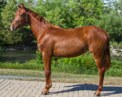 Picture of Rosie - 2019 Hanoverian Mare (